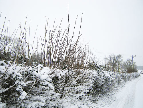 hedge with ash saplings