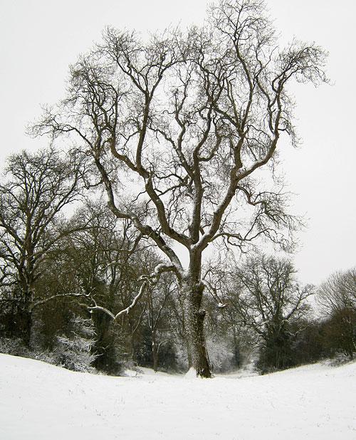 """Ash tree in """"Swing field"""""""
