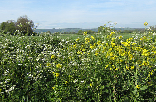 rape-and-cowparsley